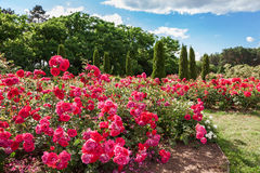 Roses bed on garden Stock Photography