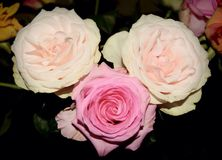 Roses. Birthday suprise for you Stock Images