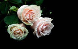 Roses on a black background Royalty Free Stock Photography