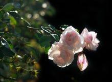 Roses on black Royalty Free Stock Photos