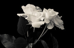 Roses. Black and white roses on black background Royalty Free Stock Images