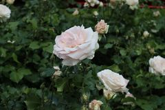 roses Blanc-roses Image stock