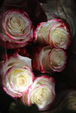 roses blanc marron Photos stock