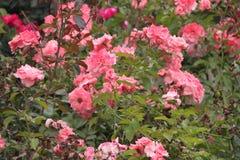 Roses blanches roses Photos libres de droits