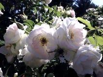 Roses blanches Photographie stock libre de droits