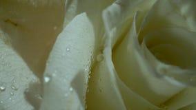 Roses blanches avec des baisses de l'eau dans le soleil de matin Bouquet des fleurs Plan rapproch? banque de vidéos