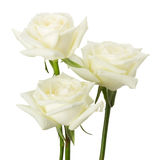 Roses blanches d'isolement sur le fond blanc Photographie stock