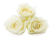 Roses blanches d'isolement sur le fond blanc Photographie stock libre de droits