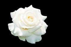 Roses blanches d'isolement sur le fond noir Photographie stock