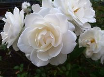 Roses blanches de floraison Photo stock