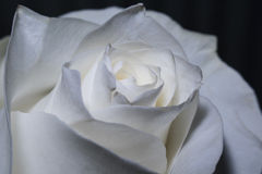 Roses blanches de floraison Photo stock