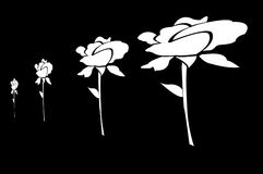 Roses blanches dessinées sur le fond noir Image libre de droits