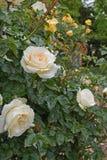 Roses blanches en parc Concept de tendresse d'amour Image stock