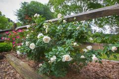 Roses blanches et roses le long de barrière en bois photos stock