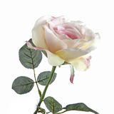 Roses blanches fraîches sur un fond blanc photographie stock