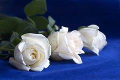 Roses blanches sur le bleu Photo libre de droits