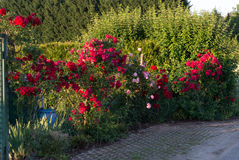 Roses In Bloom Royalty Free Stock Photos