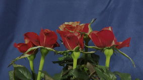 Roses that bloom stock footage