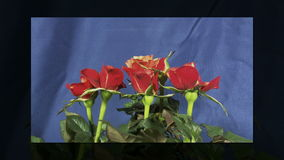 Roses that bloom stock video