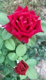 Roses in bloom. Red roses flowers in bloom full and bud long Stock Photos