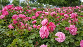 Roses In Bloom. Rose bushes covered with pink flowers in an urban setting Stock Image