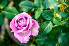 Pink  rose blooming in the garden royalty free stock images