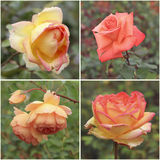 Roses blossoming in a garden. Palette warm. Collage. Roses cultivation Royalty Free Stock Image