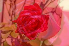 Roses. Blossoming red colored Roses flowers Stock Photo