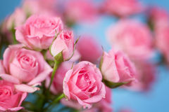 Roses on a blue background Stock Photos