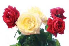 Roses bouquet. In vase over white background Stock Image