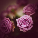 Roses. Bouquet of beautiful purple roses Stock Photography