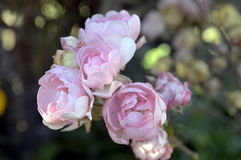 Roses Bouquet. Close-up of beautiful pink roses in a garden Royalty Free Stock Photography