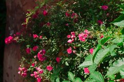 Roses. Roses in the natural environment. Bouquet of roses. Flowers in the sun. Flowerbed. Roses in the natural environment royalty free stock photo