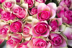 Beautiful pink and cream Roses Royalty Free Stock Image