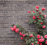 Roses on brick wall Stock Image