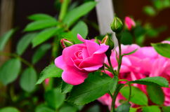 Roses. And buds Climbing  in pink Stock Photo
