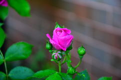 Roses. And buds Climbing  in pink Stock Images