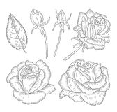 Roses, buds, leaves. Sketched hand drawn flowers roses, buds and leaves isolated on white background. Vintage vector illustration. Line art style royalty free illustration