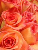 Roses. A bunch of coral roses Royalty Free Stock Photos