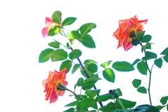 Roses bush Stock Photo