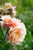 Roses on  bush Royalty Free Stock Photography