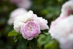 Roses on  bush Stock Photos