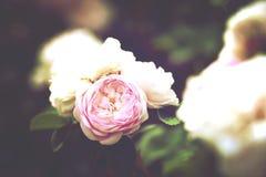 Roses on  bush Royalty Free Stock Photo