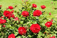 Roses bush Royalty Free Stock Image
