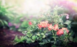 Roses bush on flowers garden or park background. Stock Images