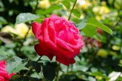 Roses on a bush Royalty Free Stock Photos