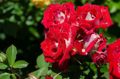 Roses on a bush Stock Image
