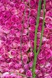 Roses bush Stock Images