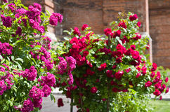Roses bush near the temple. Royalty Free Stock Images