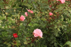 Roses. Bushes of roses in the flowering period Stock Photos